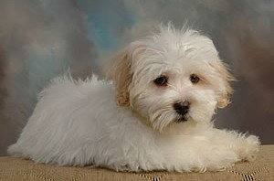 Caring for Coton de Tulear