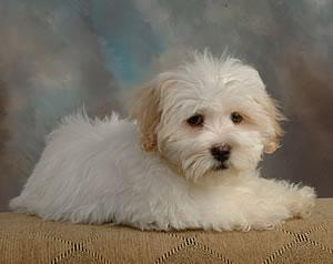 puppy coton de tulear 5